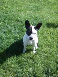 Helios, chien Bouledogue français