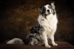 Helios, chien Border Collie