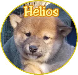 Helios, chien Shiba Inu