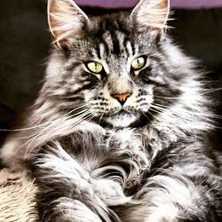 Hélios, chat Maine Coon