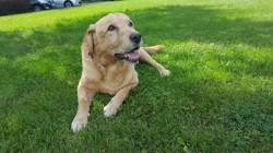 Hélios, chien Labrador Retriever