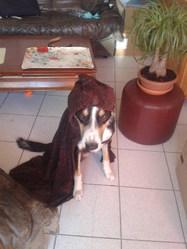 Hélios, chien Border Collie