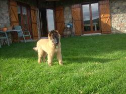 Hélios, chien Berger belge