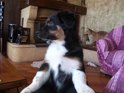 Helios, chien Berger australien