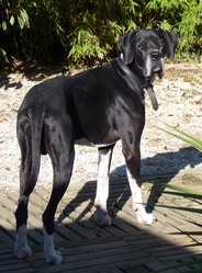 Helios, chien Dogue allemand