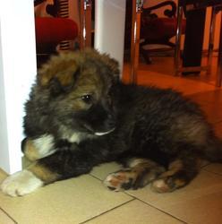 Hélios, chien Chien finnois de Laponie