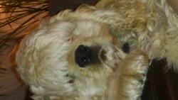 Helios, chien Cocker américain