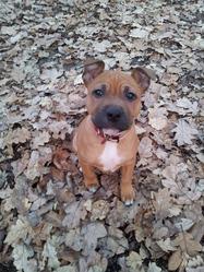 Helios, chien Staffordshire Bull Terrier