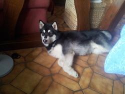 Hélios, chien Malamute de l'Alaska