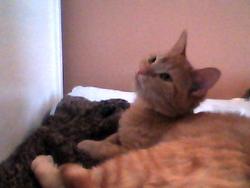 Hélios, chat Gouttière