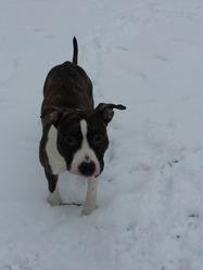 Helios , chien American Staffordshire Terrier