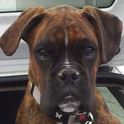 Helios, chien Boxer