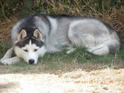 Hélios, chien Husky sibérien