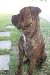 Helios, chien Cane Corso