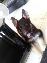 Helios, chien