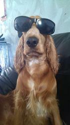 Hélios, chien Cocker anglais