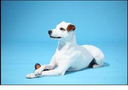 Hélios, chien Parson Russell Terrier