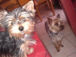 Helios, chien Yorkshire Terrier