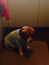 Helios, chien Beagle
