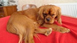 Helios Du Nid Des Palombes, chien Cavalier King Charles Spaniel