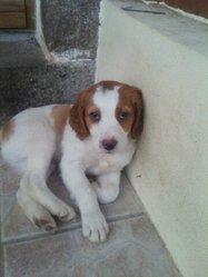 Heliot, chien Épagneul breton