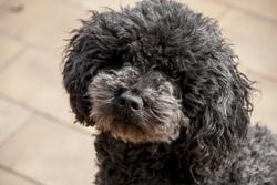 Heliot, chien Caniche