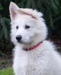 Héliot, chien Berger blanc suisse