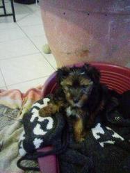 Heliot, chien Yorkshire Terrier
