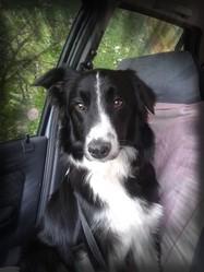 Heliot, chien Border Collie
