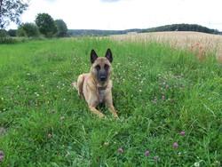 Héliot, chien Berger belge