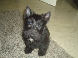 Héliot, chien Scottish Terrier