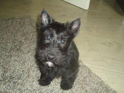 Héliot, chien Scottish Terrier
