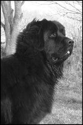 Heliot, chien Terre-Neuve