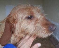 Héliot De La Cabane Des Gissiéres, chien Basset fauve de Bretagne