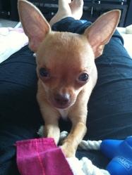 Héliot, chien Chihuahua