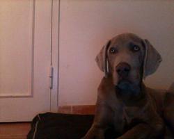 Heliote, chien