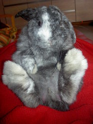 Helioth, rongeur Lapin