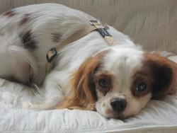 Heliott, chien Cavalier King Charles Spaniel