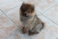 Heliott, chien Spitz allemand