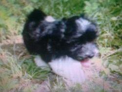 Heliott, chien Bichon havanais