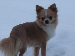 Heliott, chien Chihuahua