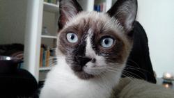 Hélioz, chat Européen