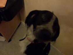 Hélite, chien Épagneul breton