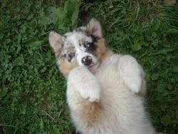 Harry, chien Berger australien