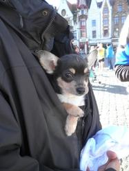 Hélium, chien Chihuahua