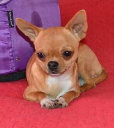 Helixir D'Amour, chien Chihuahua