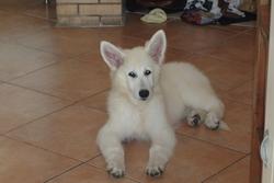 Helka, chien Berger blanc suisse