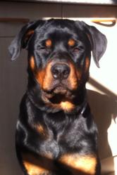 Helka, chien Rottweiler