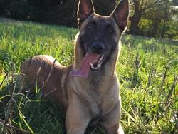 Helka, chien Berger belge