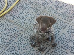 Helka, chien Braque allemand à poil court